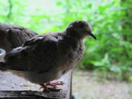 Placid Little Mourning Dove 12 by Windthin