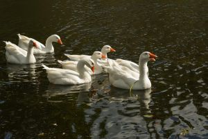 Geese 2 by Lubov2001