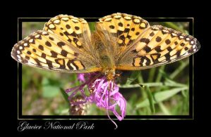 Another Fritillary by MuseSusan