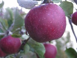 Apples 01 by Lucy-Eth-Stock