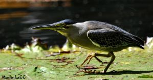 Striated Heron by MadinkaClaireC