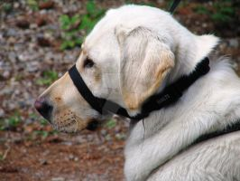 Labrador Retriever Wearing An Halti by OutBack-Art