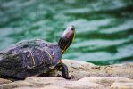 Turtle at the pond by dopey5150