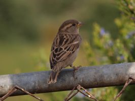 Sweet sparrow by photographyflower