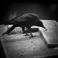 A crow by Herculanum