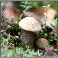 Summer Find: Bright Birch Bolete by Clu-art