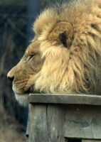 Lonely Lion by tleach0608