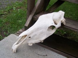 Geriatric Arabian Mare Skull 4 Upward Angle by TheMidasTouch
