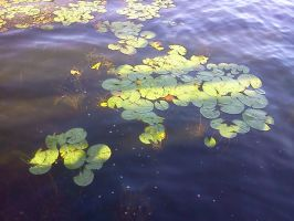 lily pads 2 by kingbob24