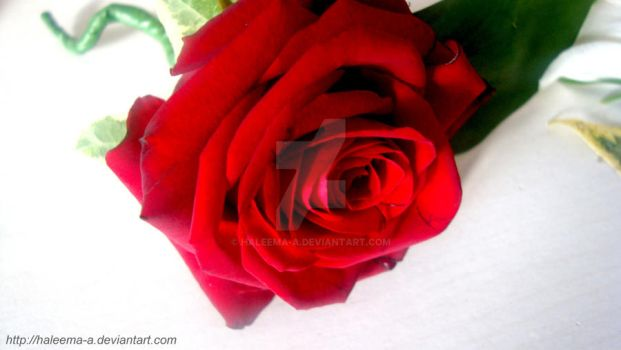 Red rose by Haleema-A