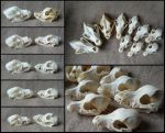 Comparison: Dog Skulls by CabinetCuriosities