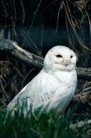 .hedwig by Snapperz