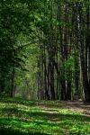 Birch alley by erzsebet-beast