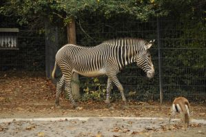 Zebra stock 3 by windfuchs