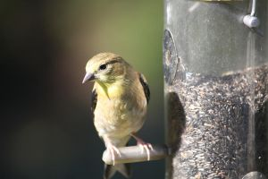 Golden Finch on Feeder by chinesepaintings