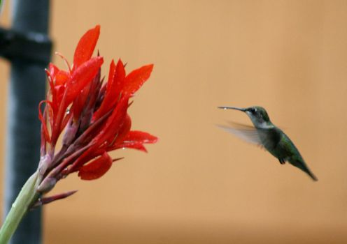 Hummingbird with Red Canna Lilly by Crematia18