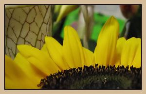 Happy Sunflower by picworth1000wrds