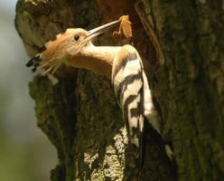 Common Hoopoe by A2812