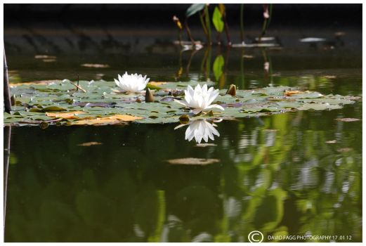 Water lily ! by snappy-dave