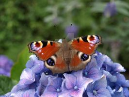 Peacock Butterfly by moniLainLP