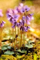 Soldanella carpatica by Dark-Raptor