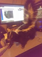 Lifesize Skunk, 2nd Lifesize mount, work in progre by psychische