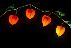 Physalis by dack99