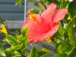 red Hibiscus by crazygardener