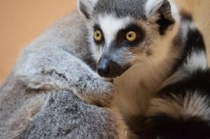 Ring-tailed Lemur by N0XATI