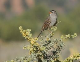 White-crowned Sparrow by Barn0wl