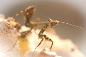 Parasphendale Agrionina young mantis L4/5 by carlarush