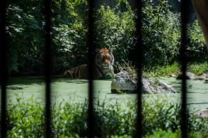 Caged Tiger by Tyc01101