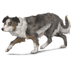 Border Collie by Riixon