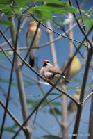 Long-Tailed Finch by meihua