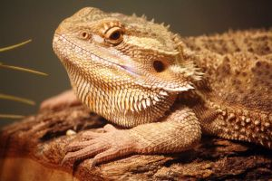 Bearded Dragon 16 by MegMarcinkus