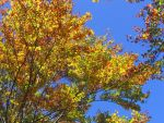 Fresh autumn leaves... by electronx