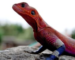 Agama Lizard Two by goASK-alice