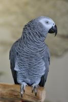 lb1-119 grey parrot2 by bstocked