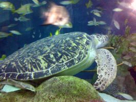 Sea Turtle by Lily-Hith-Silme