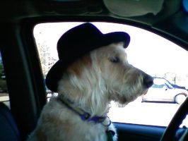 goldendoodle driving by spyrokeeper