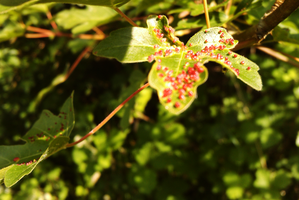 leaf with red things by TomRolfe