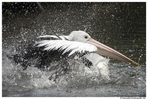 Bathing Pelican II by TVD-Photography