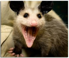 laughing possum by llama25
