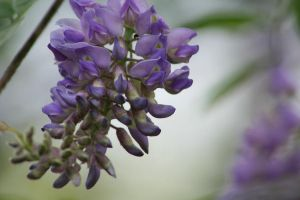 wisteria.and.wishes. by Dellessanna