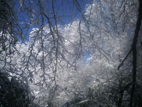 Icy Pecan Tree by pictures-in-my-head