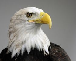 Bald Eagle Portrait by papatheo