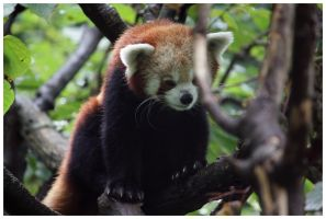 Red Panda I by DysfunctionalKid