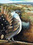 Sage Grouse by RonOden