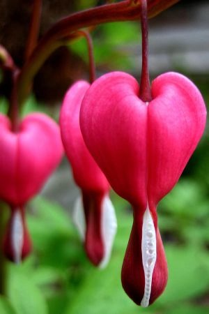 لورود نادره Bleeding_heart_by_Mo