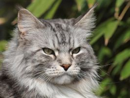 Silver Grey coon 1 by pagan-live-style